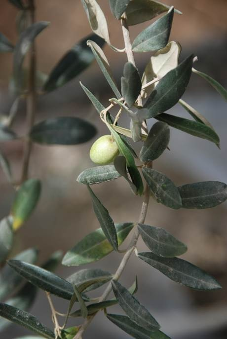 ... Tu Bishvat! | My Jewish People - Holy Days, Holidays, Observanc