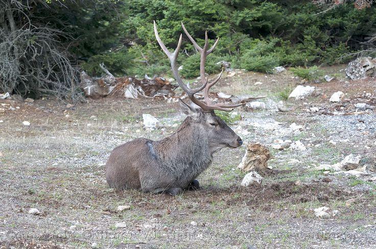 https://flic.kr/p/Lz3SZL | Deer on Mount Parnitha