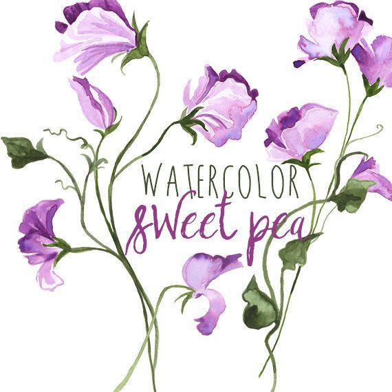Watercolor Sweet Pea Spring Floral Border Graphics, Floral clipart of flowers, Sweet pea wedding clip art, Flower paintings Purple Sweet Pea