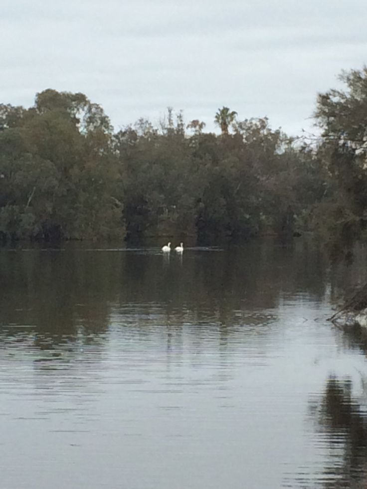 White Love swans on a river