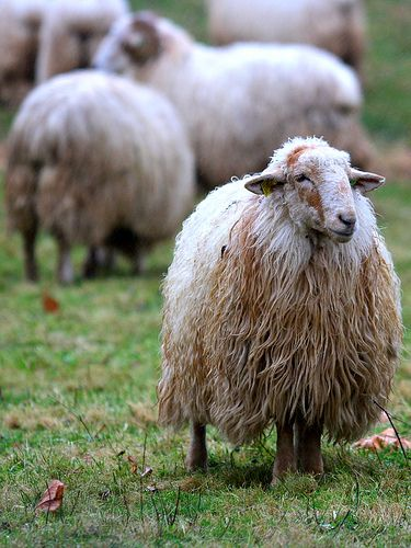 A stately Latxa sheep from the Basque region of Spain - love the soft waves of wool...