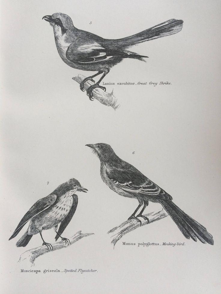 1891 Passeres - Great Grey Shrike, Spotted Flycatcher, Mocking-bird Original Antique Steel Engraving - Ornithology- Bird by NinskaPrints on Etsy https://www.etsy.com/uk/listing/539484130/1891-passeres-great-grey-shrike-spotted