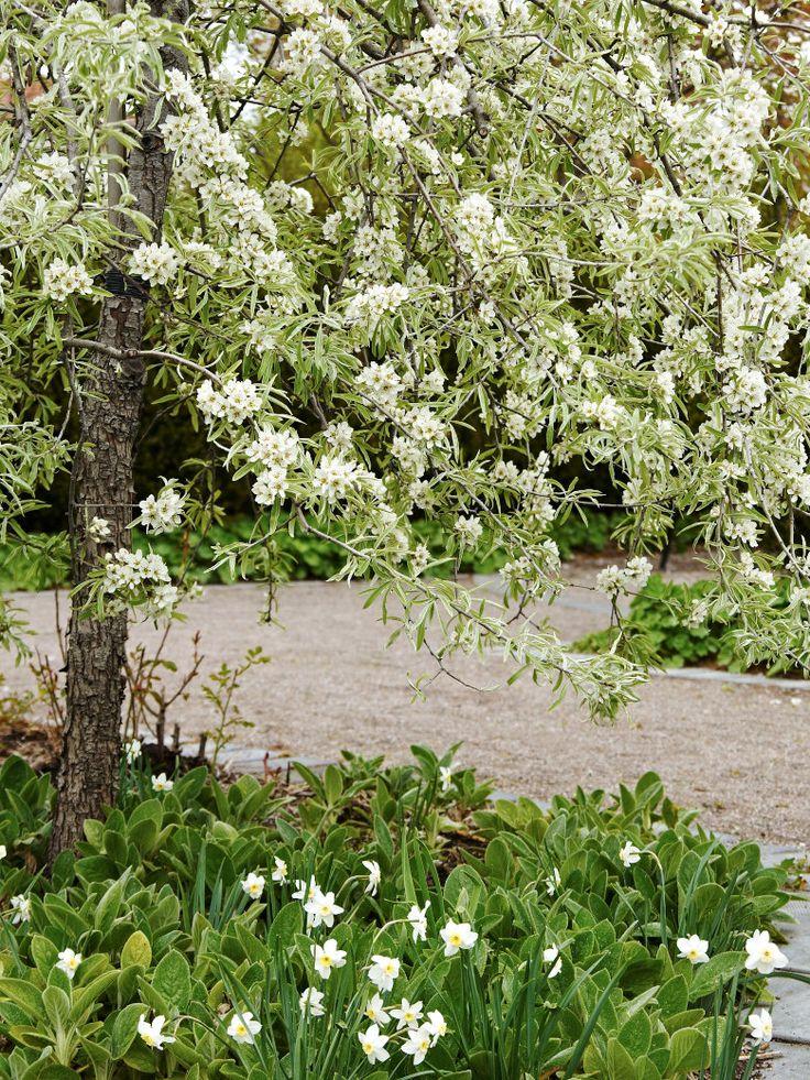 Silverpäron, Pyrus salicifolia 'Pendula' | Zon IV. Ger både silver och vitt i ett när den blommar i maj som här i Pastor Spaks park. Sedan tar det silvriga över helt där den står som en buske eller litet träd och glittrar i trädgården. Brukar ofta kallas för Nordens olivträd och den kan verkligen skänka sydeuropeisk atmosfär till trädgården med sina silvriga smala blad. Blir ca 5–7 m hög, men det tar lång tid. Kan med fördel stammas upp. Behöver solig växtplats och väldränerad jord.