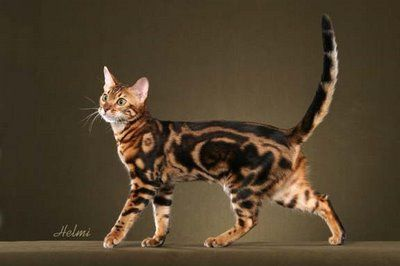 Bengal cat. My favourite cats! So beautiful