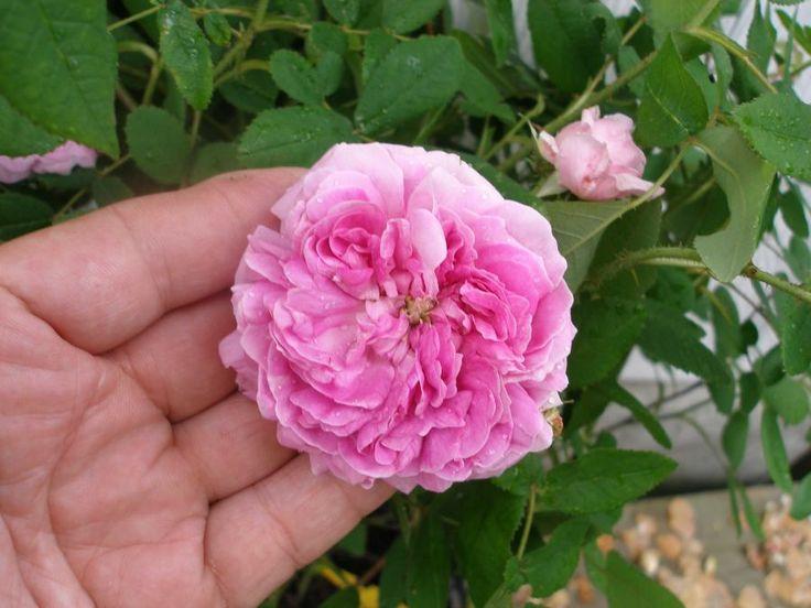 Tratamente inedite cu petale proaspete de TRANDAFIR - Top Remedii Naturiste