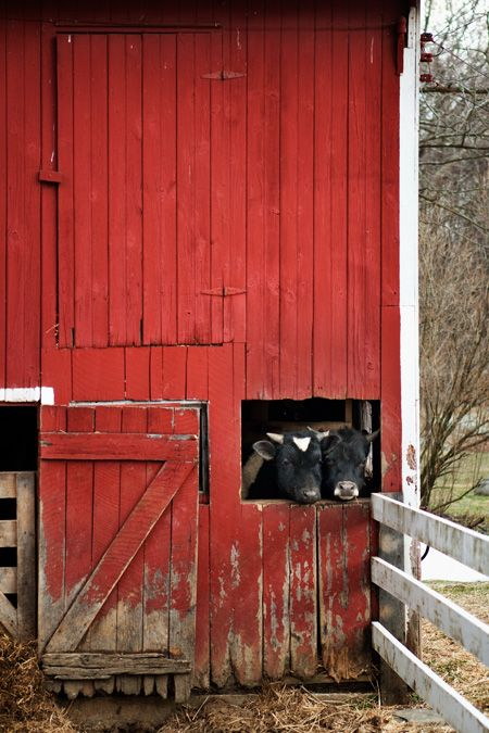 .Red Doors, Barn Doors, Barns Doors, Farms Life, Country Life, Red Barns, Cows, Animal, Old Barns
