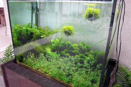 Marimo balls or moss balls as they are sometimes called for Moss balls for fish tanks