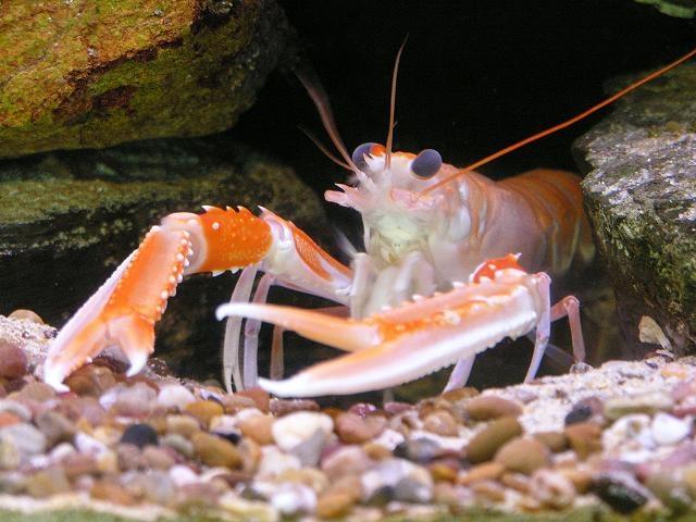 Lobster Underwater 262 Best images...