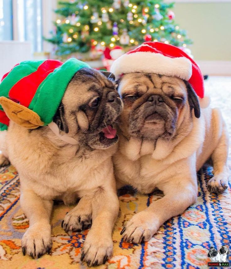 740 best peggy sue the pug images on pinterest baby pugs doggies is it new years yet thecheapjerseys Image collections