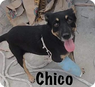 Vancouver, BC - Chihuahua/Miniature Pinscher Mix. Meet Chico, a dog for adoption. http://www.adoptapet.com/pet/17090312-vancouver-british-columbia-chihuahua-mix