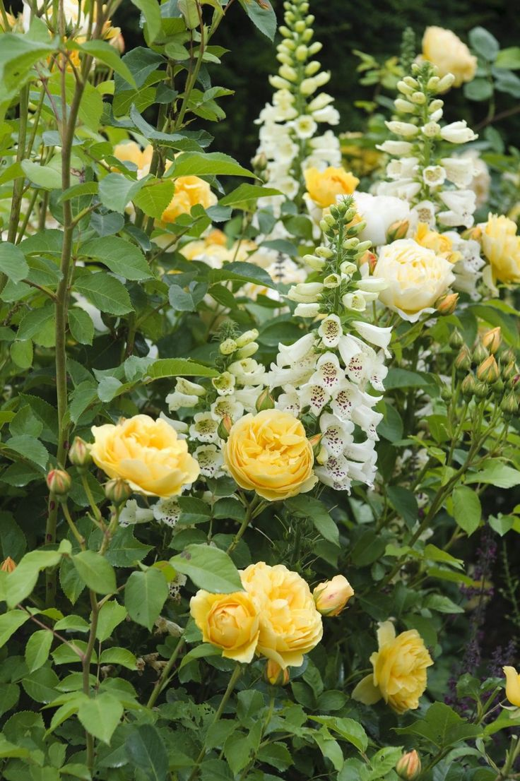 22 best Roses: Apricot Shades (Favorites) images on Pinterest ...