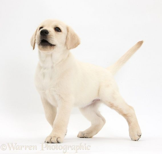 Yellow Labrador Retriever Puppy Labradorpuppynamesfemale Unusual Dog Names Dog Names Female Dog Names