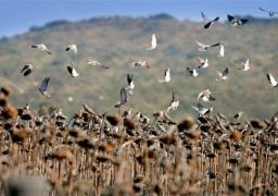 Amazing volume of doves in the fields of Cordoba, Argentina!