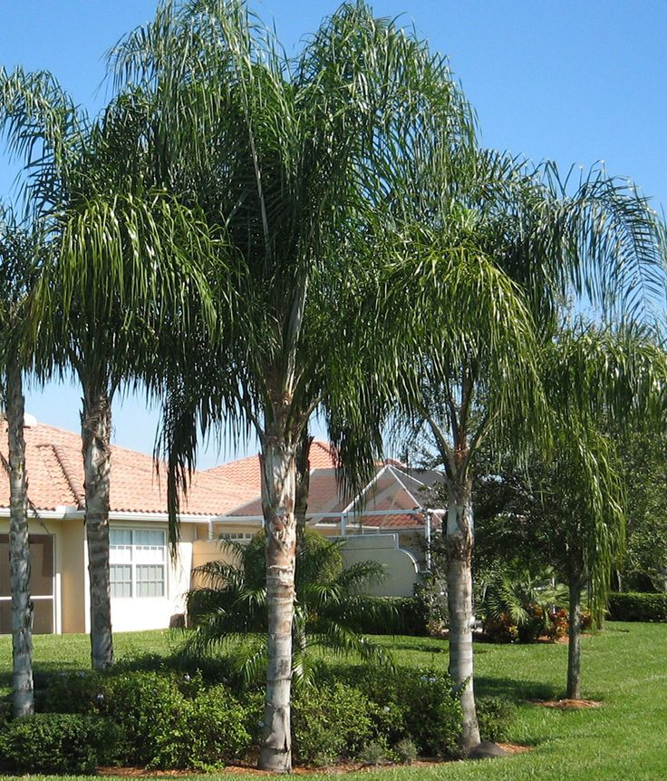 Greywood Queen Palm Trees Are Adult Trees Known To Be