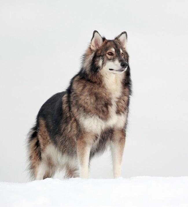 Este imponente perro es mezcla del Husky Siberiano, del Malamute de Alaska y el Pastor Alemán.