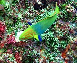 Yellow Moon Wrasse - looks too colourful for NSW. #scuba #diving #underwater #travel #diveplanit