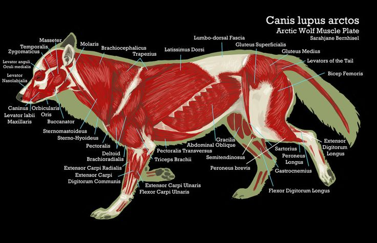 the cougar physiology Anatomy and physiology of animals/the gut and digestion from wikibooks, open books for an open world  digestion, absorption, assimilation, egestion,.
