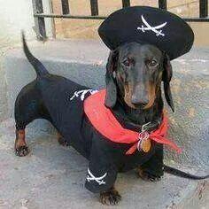 Pirate black and tan standard dachshund