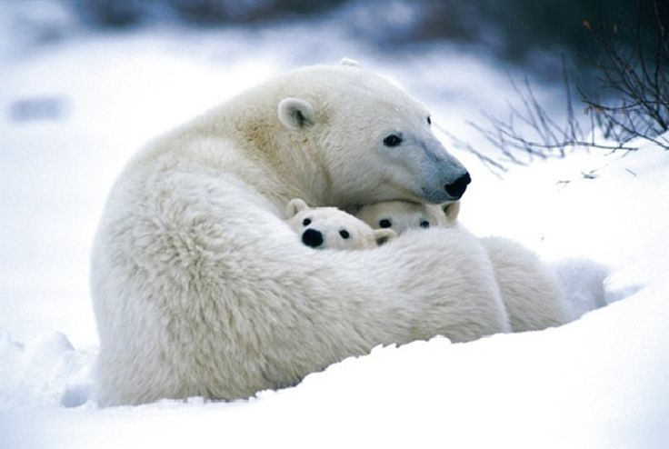 A polar bear snuggles up with her cubs. by Jillianne Athena