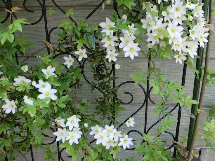 常緑を楽しむ!意外!?クリスマスに間に合う!?冬にも咲きます!常緑クレマチス|広島のガーデンコーディネーター…