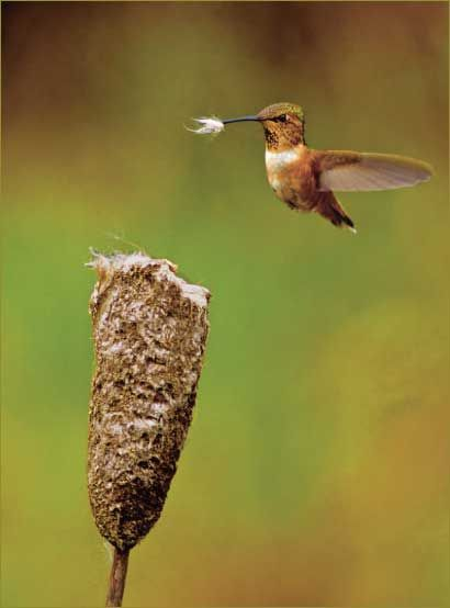 Hummingbird gathering material for nest building.