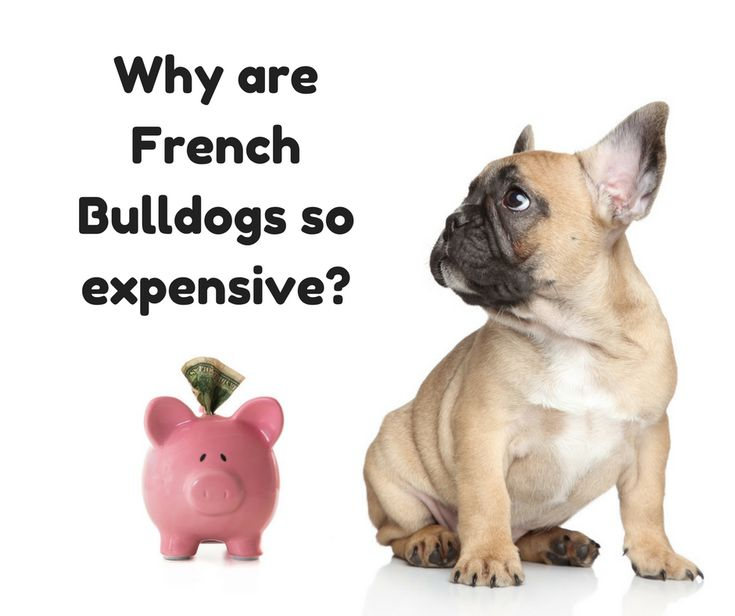 What's the price of a French Bulldog puppy? Why are they so expensive? Find out now!