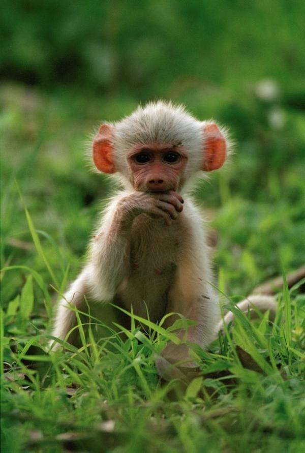 Baboon monkey baby