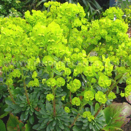 614 besten plant id perennials 2 bilder auf pinterest for Pflanzen evergreen