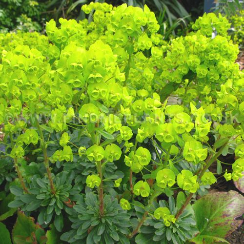 17 best images about plant id perennials 2 on pinterest for Perennial wood
