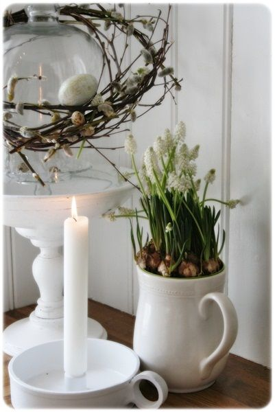 Forced bulbs in ironstone pitcher