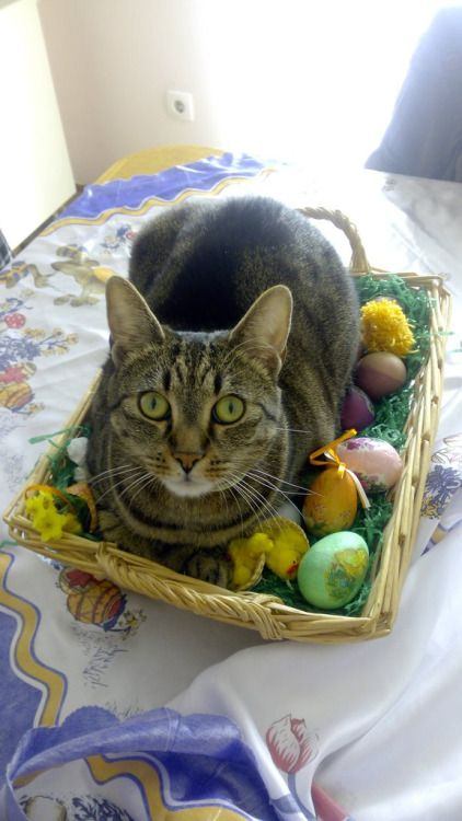 cute-overload: Easter cat - Cat memes - kitty cat humor funny joke gato chat captions feline laugh  http://cute-overload.tumblr.com source: http://imgur.com/r/aww/d2toQR3