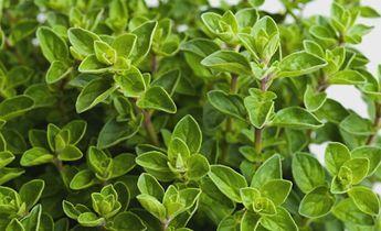Oregano, das mediterrane Heilkraut Oregano ist eine aromatische und sehr heilkräftige Pflanze, die aus der Bergwelt der Mittelmeerländer stammt. Oregano zählt zu den kraftvollsten Kräutern und den wirkungsvollsten natürlichen Antibiotika, die jemals untersucht wurden. Oregano ist darüber hinaus ein stark fungizides Mittel. Daher wirkt er gut bei Pilz-Infektionen aller Art. Interessant ist ausserdem seine blutverdünnende Wirkung, so dass er auch in der Schlaganfall-/Herzinfarktprophylaxe…