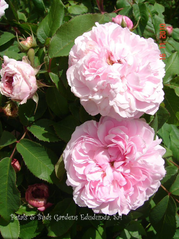 'Jacques Cartier' rose. Recurrent flowering, in our garden.