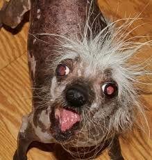 Resultado de imagen para los perros mas feos del mundo