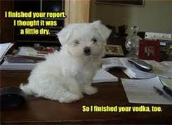 funny westie pictures - Bing Images