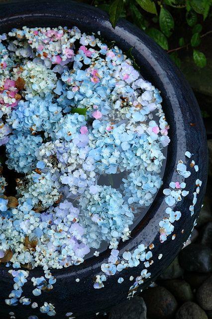 thekimonogallery: burning-soul: 紫陽花 Hydrangeas. Japan