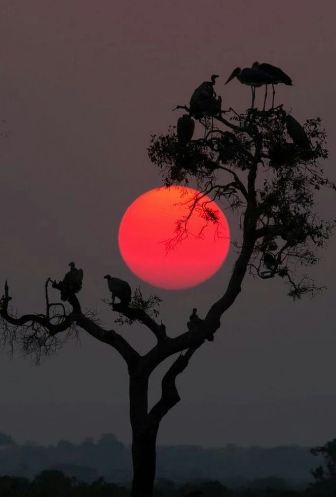 sunset #red sun tree bird silhouette