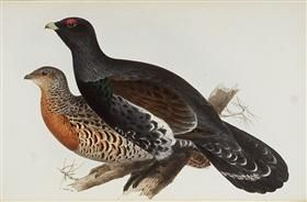 Capercaillie or Cock of the Wood - Edward Lear