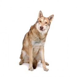 Il cane lupo di Saarloos è un cane di taglia grande che, discendendo dai lupi, appare molto più indipendente degli altri cani da pastore.