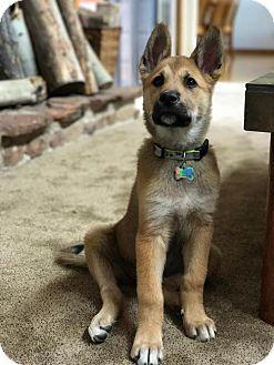 Denver, CO - Australian Shepherd/Australian Cattle Dog Mix. Meet Tommi aka: Pippa, a dog for adoption. http://www.adoptapet.com/pet/18586309-denver-colorado-australian-shepherd-mix