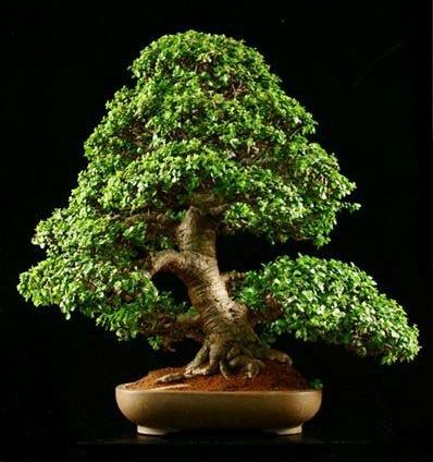 Portulacaria afra often called dwarf jade or elephant food. Makes an easy plant for beginners.