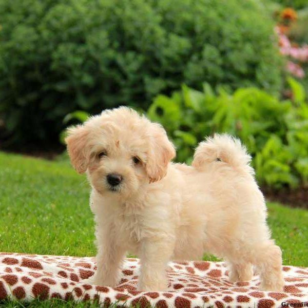Havanese Intelligent And Funny Havapoo Puppies Greenfield Puppies Puppies