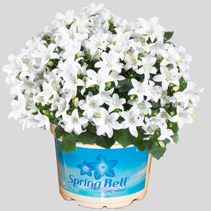 Campanula Spring Bell White