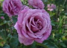 violette parfumée : grimpant remontant, parfumé et mauve. et peu épineux !!  Fil Roses - Le Temps des Roses : roses anciennes et rosiers anglais
