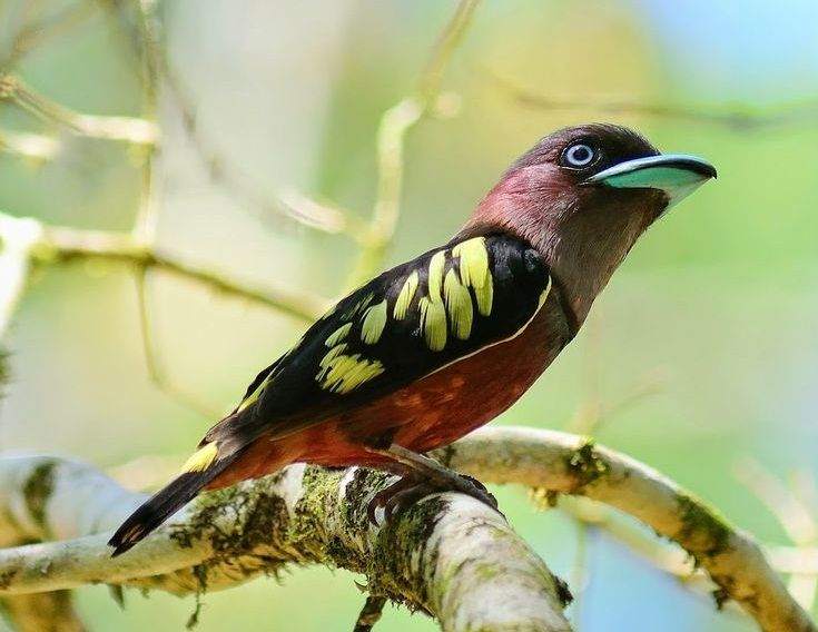 image source The banded broadbill (Eurylaimus javanicus) is a species of bird in the Eurylaimidae family. It is found in Brunei, Cambodia,Indonesia, Laos, Malaysia, Myanmar, Singapore, Thailand, and Vietnam. Its natural habitat is subtropical...