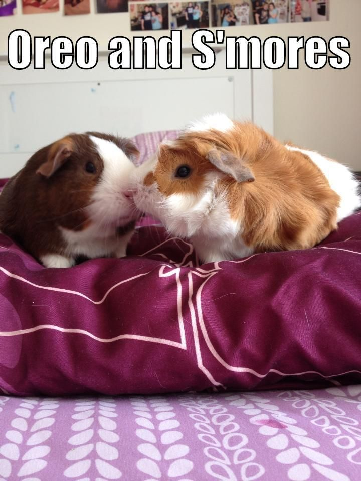Cute guinea pigs Oreo and S'mores!   Best Hay for guinea pigs at http://smallpetselect.com/timothy-hay-for-guinea-pigs
