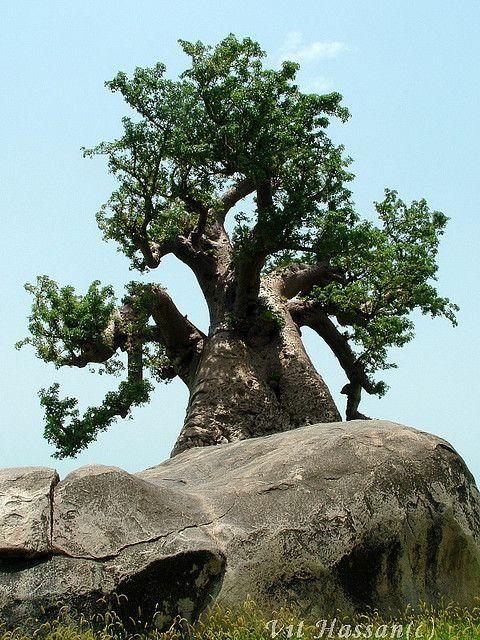 Les 193 meilleures images propos de arbres sur pinterest arbres madagascar et mousse d - Mousse sur les arbres ...