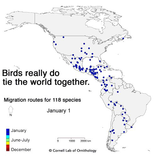 WATCH: https://www.allaboutbirds.org/mesmerizing-migration-watch-118-bird-species-migrate-across-a-map-of-the-western-hemisphere/