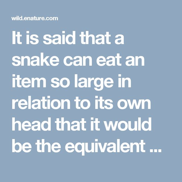It is said that a snake can eat an item so large in relation to its own head that it would be the equivalent of a human swallowing a watermelon whole -- and without using his hands. Anacondas, among the world's largest snakes (a record-breaker was 28 feet long and 44 inches around), are said to be able to consume an adult human being!