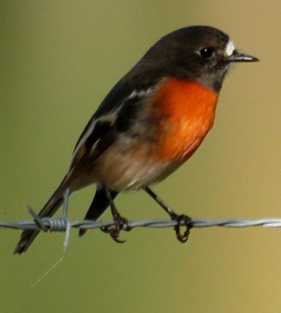 Australian Robin